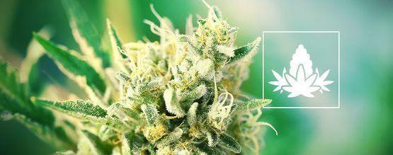 Prácticas Recomendadas Para La Fase De Floración De La Marihuana