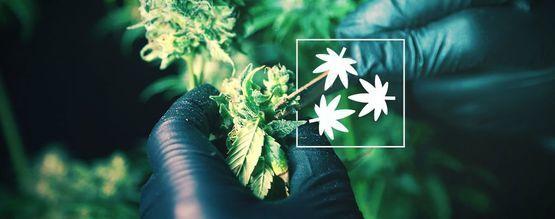 Defoliación Del Cannabis: Todo Lo Que Hay Que Saber