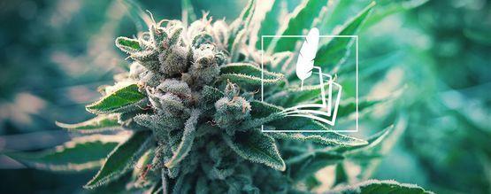 Historia Del Cannabis Con Fines Medicinales