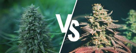 Marihuana Fotoperiódica Vs. Autofloreciente: ¿Cuál Es Mejor Para Ti?