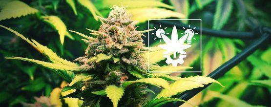 Consejos Para Cultivar Marihuana Auto En Interior Y Exterior