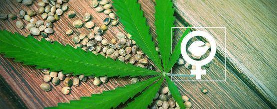 ¿Qué Son Las Semillas De Marihuana Feminizadas?