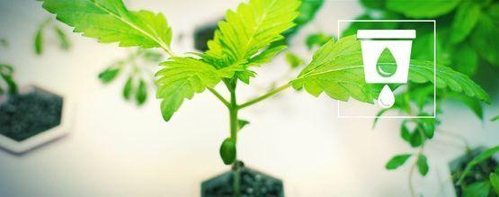 Cultivar Cannabis Con Hidro