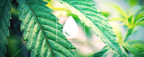 Cómo Regar Tus Plantas De Marihuana