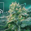 ¿Qué Son Las Cepas De Cannabis Ricas En CBD?