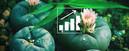 Semillas de Peyote: Cómo Cultivar Tu Propio Cactus Peyote