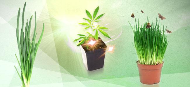 Asociación De Cultivos Para La Marihuana: Cebollino