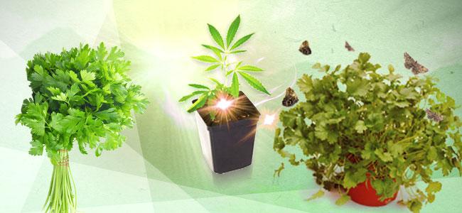 Cultivos Asociados Para La Marihuana: Cilantro