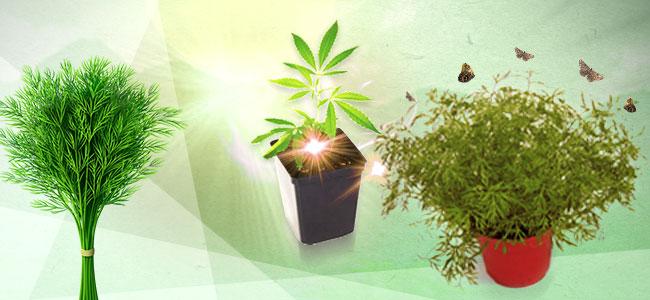 Asociación de cultivos para la marihuana: eneldo
