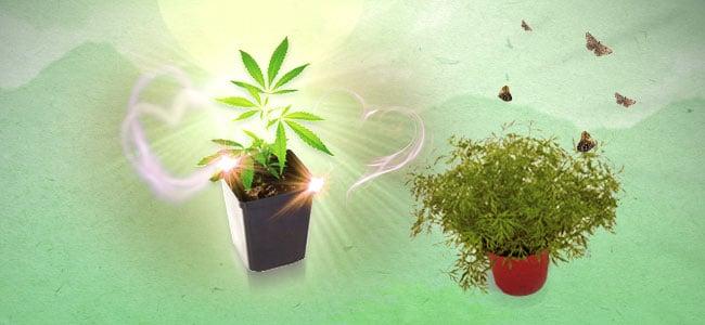 Asociación de cultivos para la marihuana Eneldo