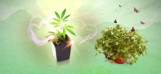 Cilantro y marihuana