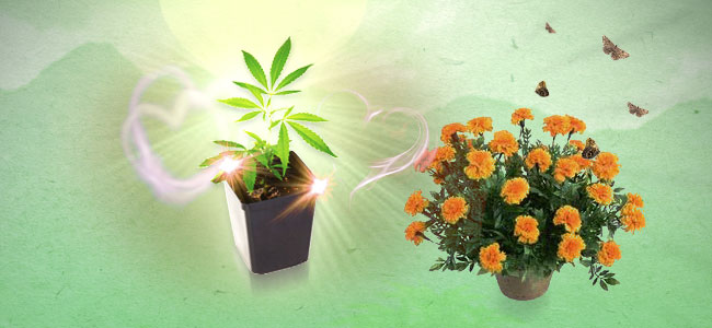 Cultivos asociados para la marihuana Caléndulas