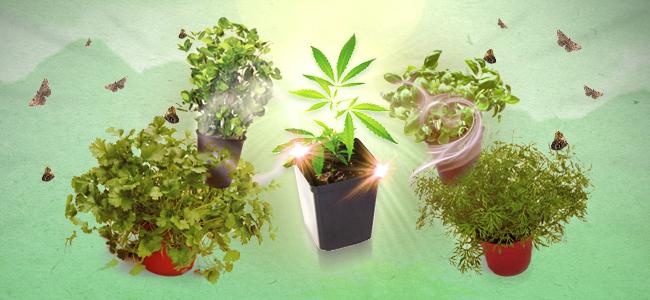 Cultivo asociado marihuana