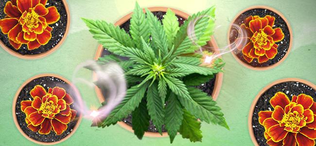 una capa protectora de plantas alrededor de tu marihuana
