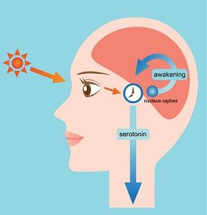 Serotonina ciclo luz-oscuridad