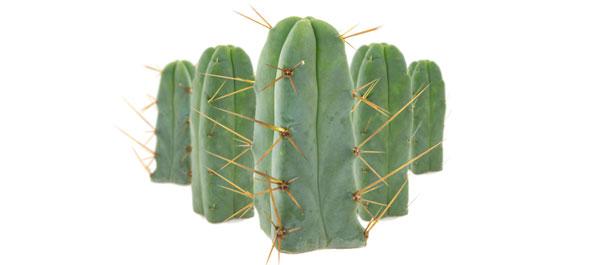 Cactus de los cuatro vientos
