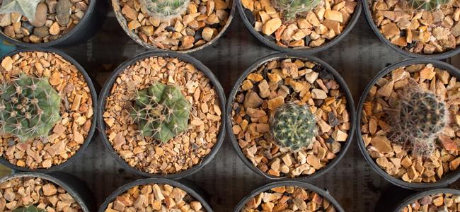 Guía Sobre los Cactus de Mescalina