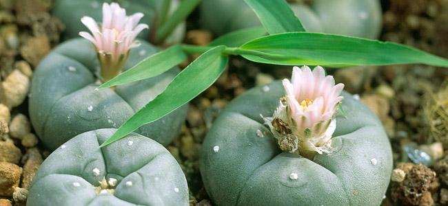 Pequeño peyote cactus