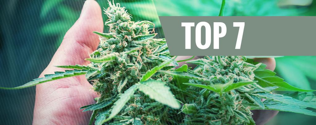 Estrés Planta De Marihuana