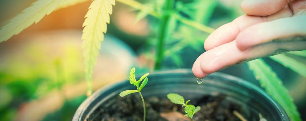 ¿Cuál es el agua ideal para las plantas de marihuana?