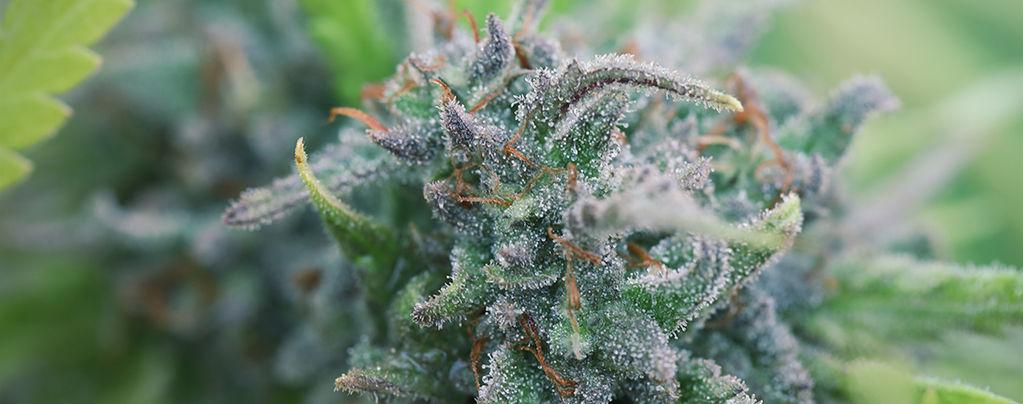 Cultivar Cannabis Ecológico