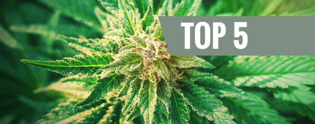 Top 5 De Variedades Cannabis Ruderalis