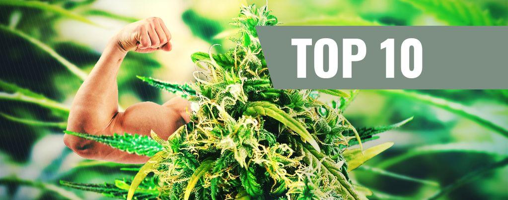 Top 10 variedades de marihuana más potentes de 2016