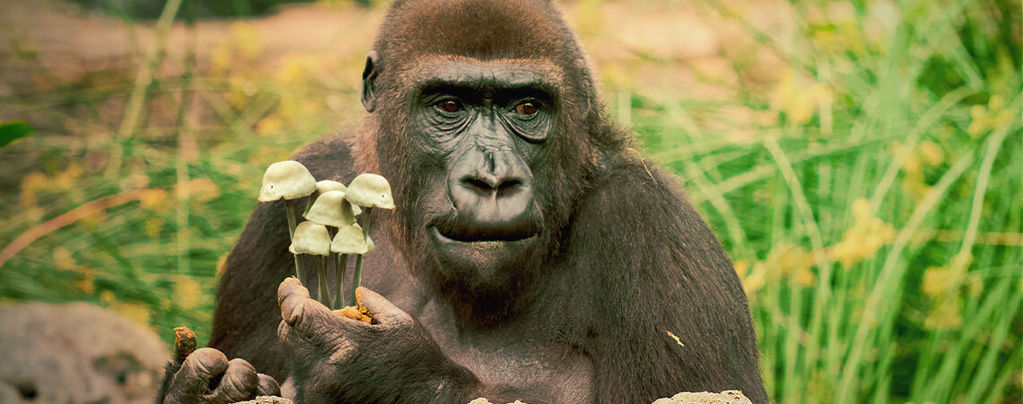 La Teoría del Mono Fumado de la Evolución Humana