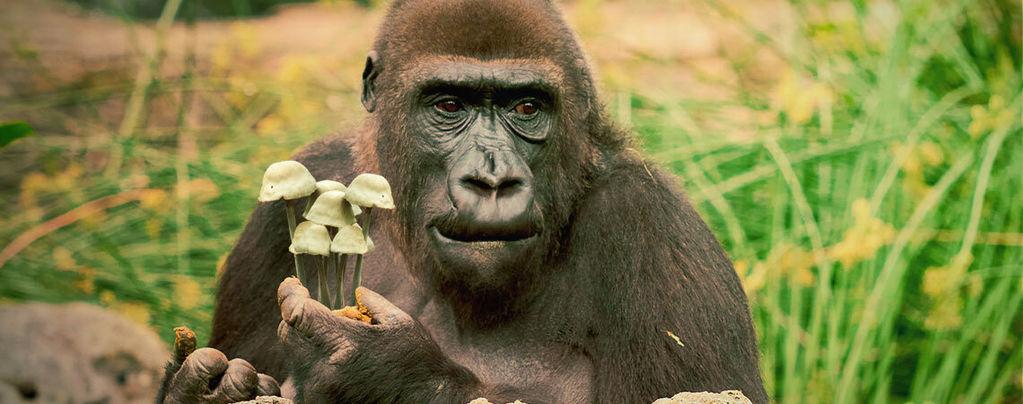 La Teoría Del Mono Colocado Y La Evolución Humana
