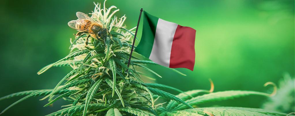 Las Mejores Semillas De Cannabis Italia