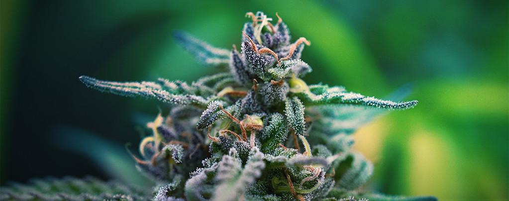 Las mejores variedades de marihuana CBD