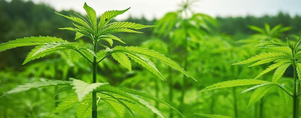 cultivar cannabis exterioir