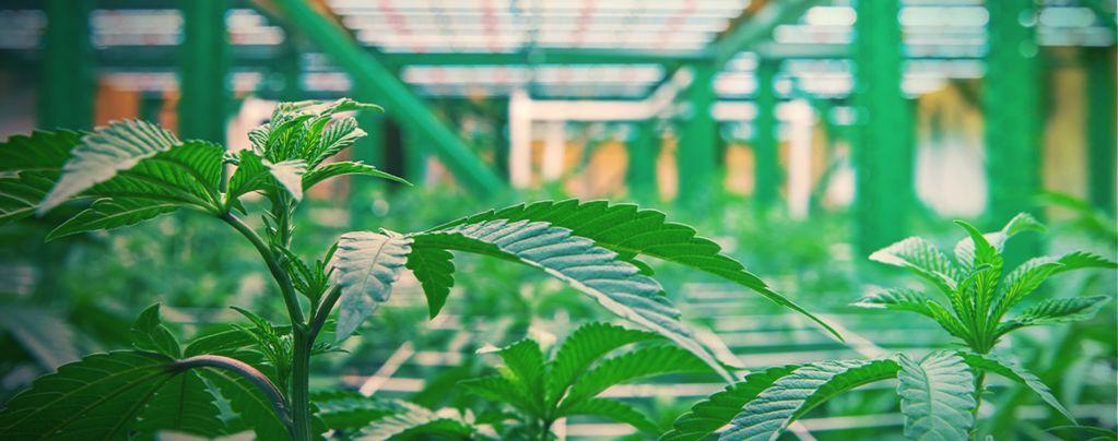 Cómo Funciona El Cultivo Vertical De Marihuana