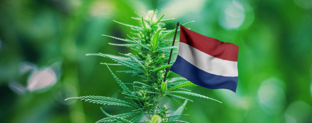 mejores cepas Holanda