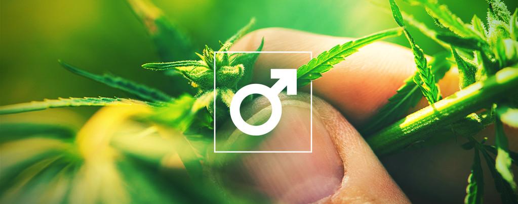 Plantas de Cannabis Macho Hachís