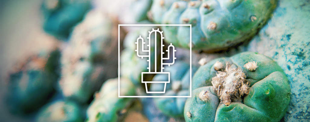 Cactus De Mescalinas
