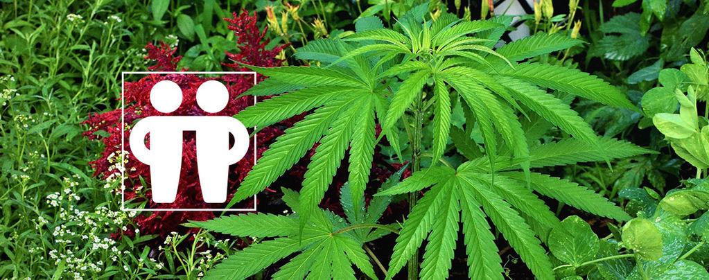 Estimular Y Proteger Tu Cultivo De Cannabis