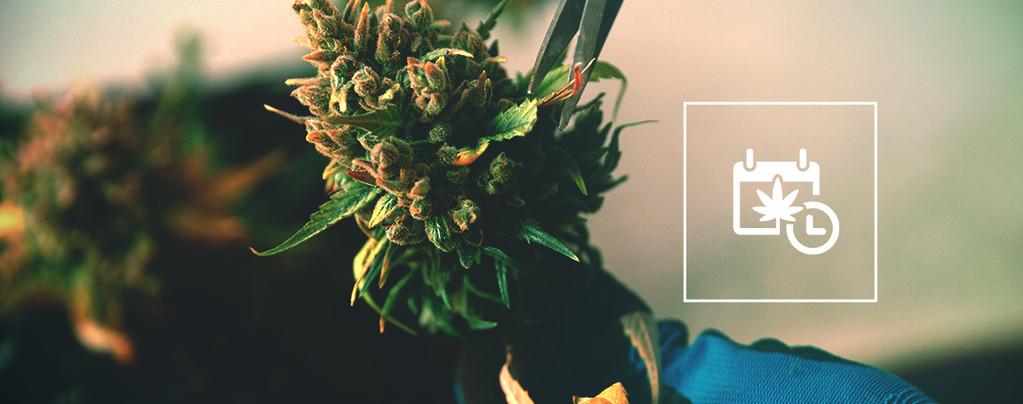 Cómo Acelerar La Floración Y La Cosecha Del Cannabis