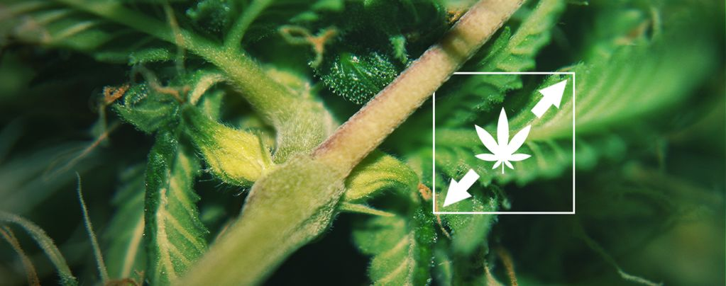 Estiramiento En Las Plantas De Marihuana