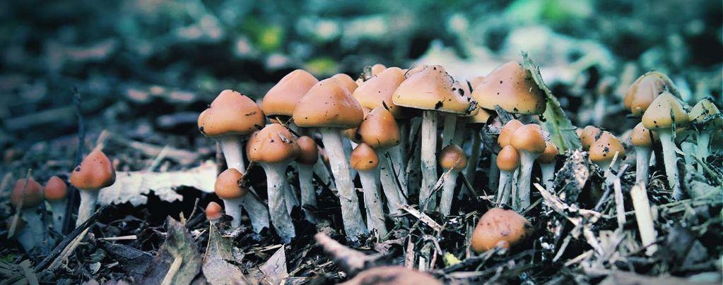 ¿Qué Es Psilocybe Azurescens Y Cómo Se Cultiva?
