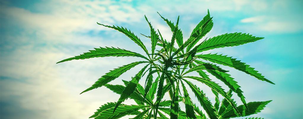 Cannabis Climas Cálidos