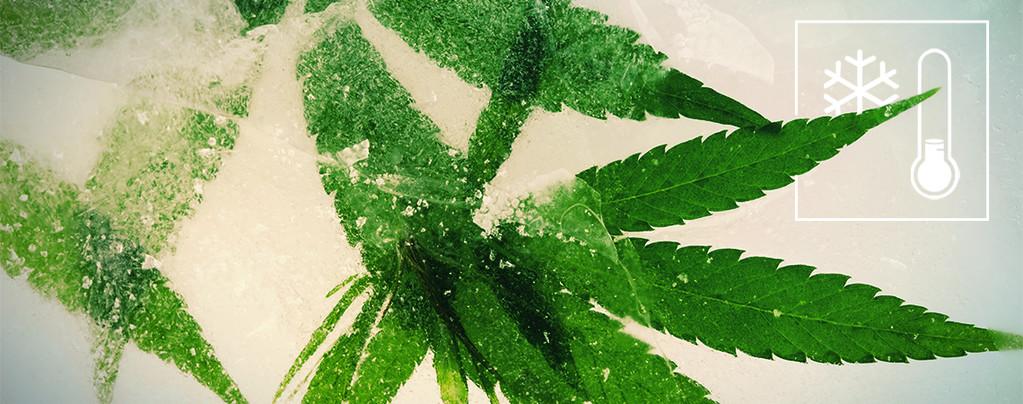 Cannabis Climas Fríos