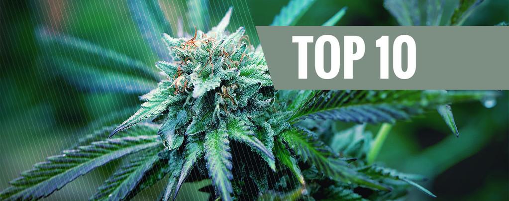 Las 10 Mejores Cepas de Marihuana Medicinal
