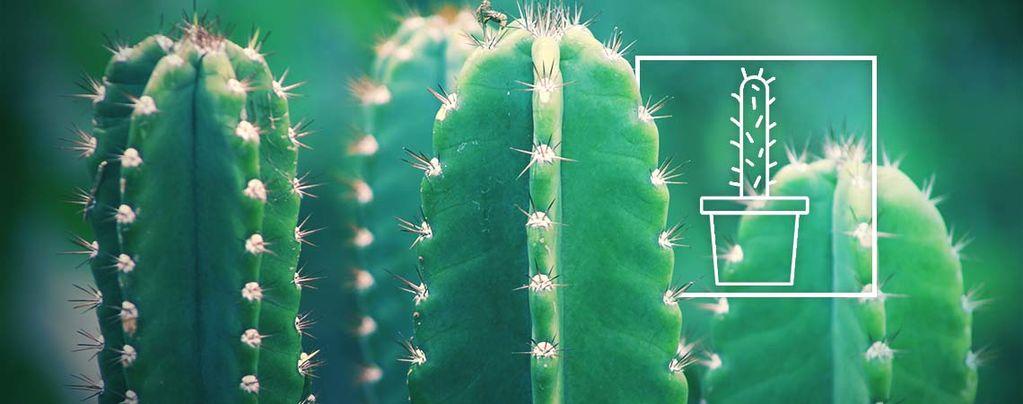 Cultivar El Cactus San Pedro