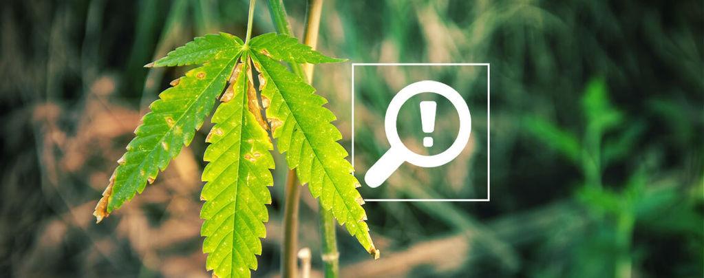 Problemas Floración Del Cannabis