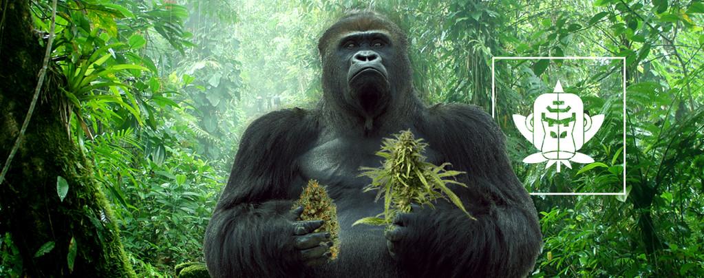Cepas De Cannabis Gorilla Glue