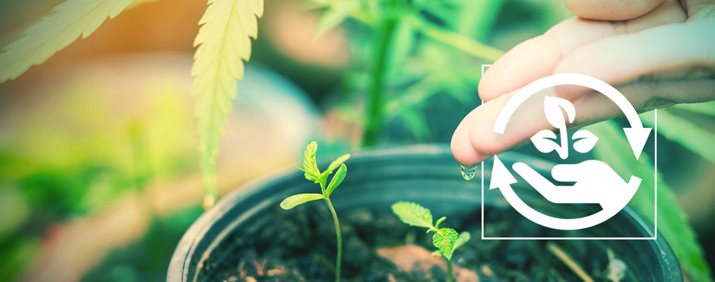 Fases Del Cultivo De Cannabis