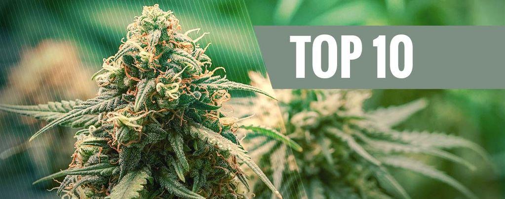 Mejores Cepas De Cannabis Híbridas