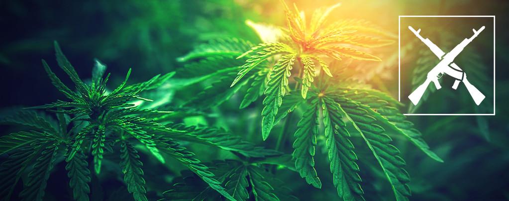 Cepas De Marihuana Ak-47