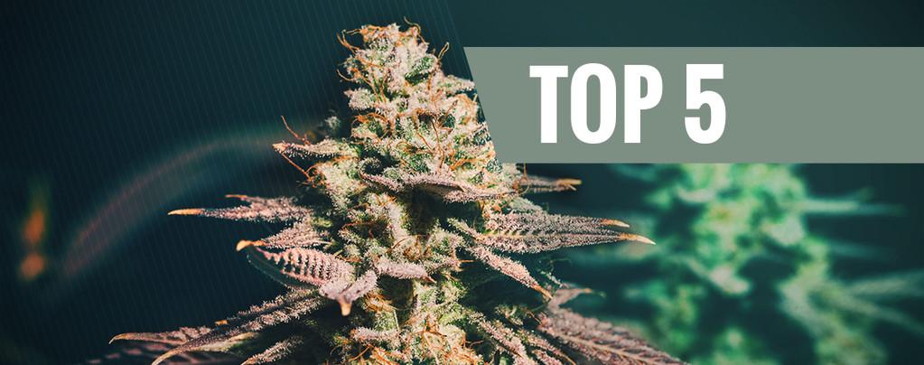 5 Mejores Variedades De Cannabis Para Cultivos Tardíos